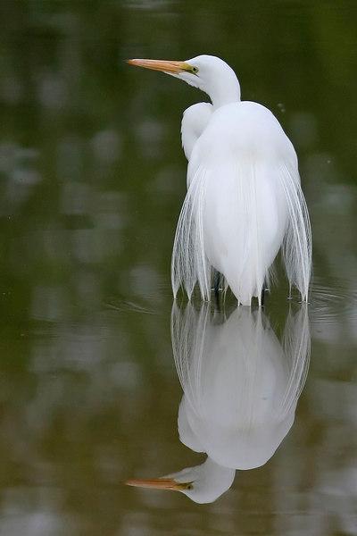 Great Egret, Gilbert, AZ