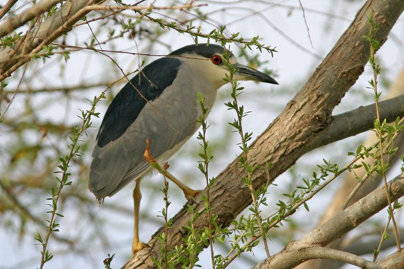 Black-Crowned Night-Heron, Gilbert, AZ