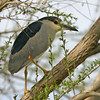Black-Crowned Night-Heron, Gilbert, AZ