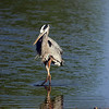 Great Blue Heron, Gilbert, AZ