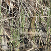 American Bittern, near Shoreline Lake, Mountain View, CA