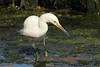 Pacific Reef-Heron (aka Eastern Reef Egret)