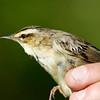 Sedge Warbler, Wraysbury, UK