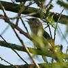 Garden Warbler, Wraysbury, UK
