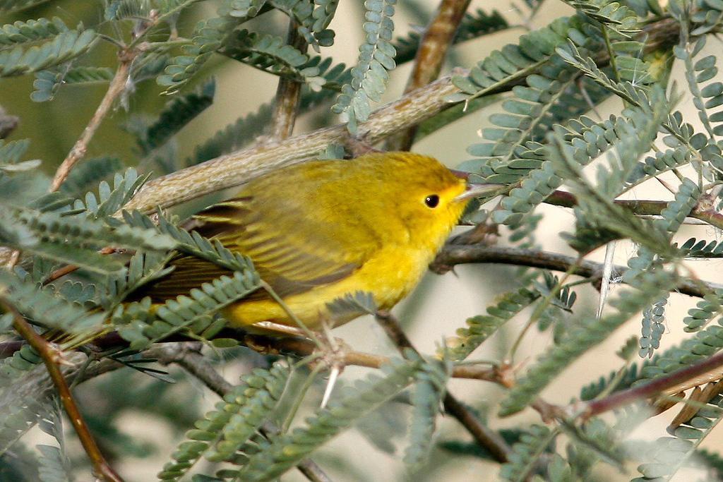 Yellow Warbler, Gilbert, AZ