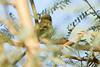 Blackpoll Warbler, Gilbert, AZ