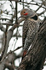 Northern Flicker, Tubac, AZ