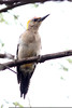 Golden-fronted Woodpecker, Sabal Palm Sanctuary, TX