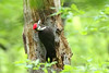 Pileated Woodpecker, Huntley Meadows Park, Virginia