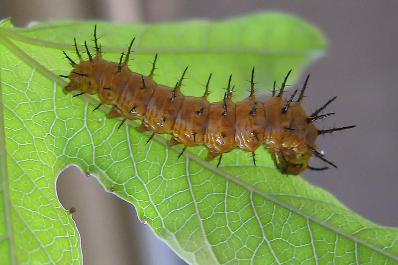 Gulf Fritillary Caterpillar, Maricopa, AZ