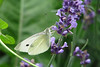 Cabbage White, Pottawattamie County, IA