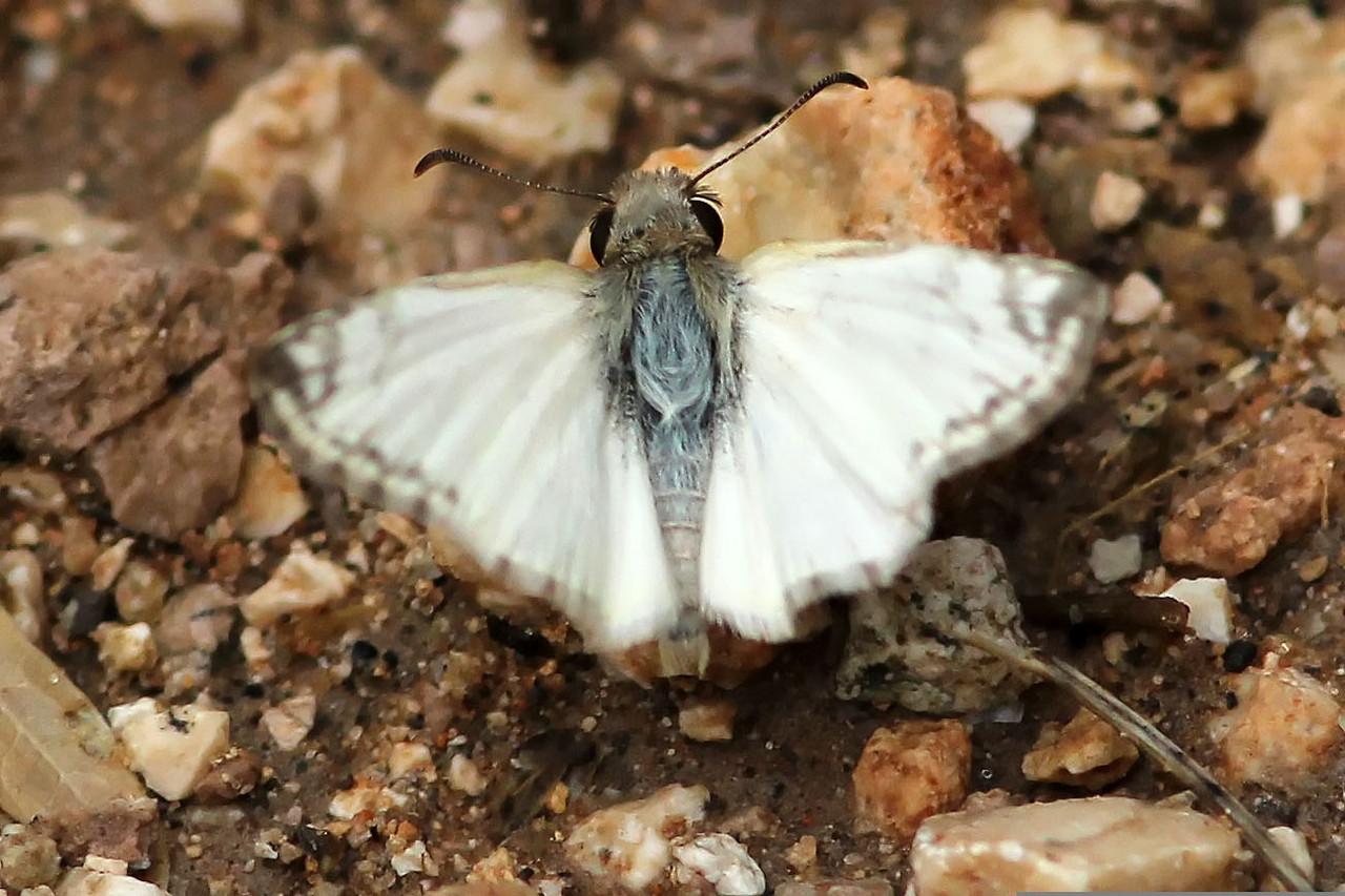 Laviana White-Skipper, Estero Llano Grande State Park, Hidalgo County, TX
