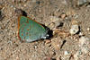 Arizona Hairstreak, Madera Canyon, AZ