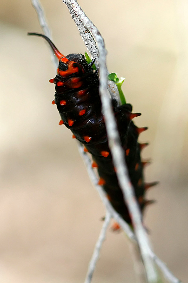 Pipevine Swallowtail Caterpillar, Boyce Thompson Arboretum, AZ