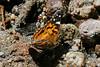 American Lady, Ramsey Canyon, AZ