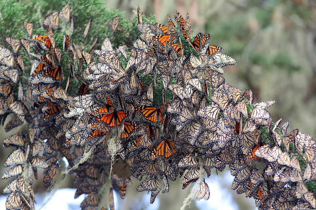 Monarchs, Pacific Grove, CA
