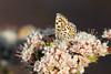 Bernardino Blue, Pinnacles National Park, San Benito County, CA