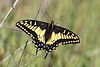 Anise Swallowtail, Coyote Peak, Santa Clara County, CA