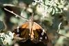 American Snout, Boyce Thompson Arboretum, AZ
