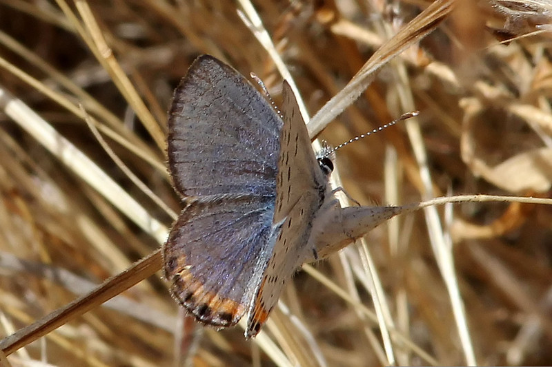 Acmon Blue, Mission Trails Regional Park, San Diego County, California, USA