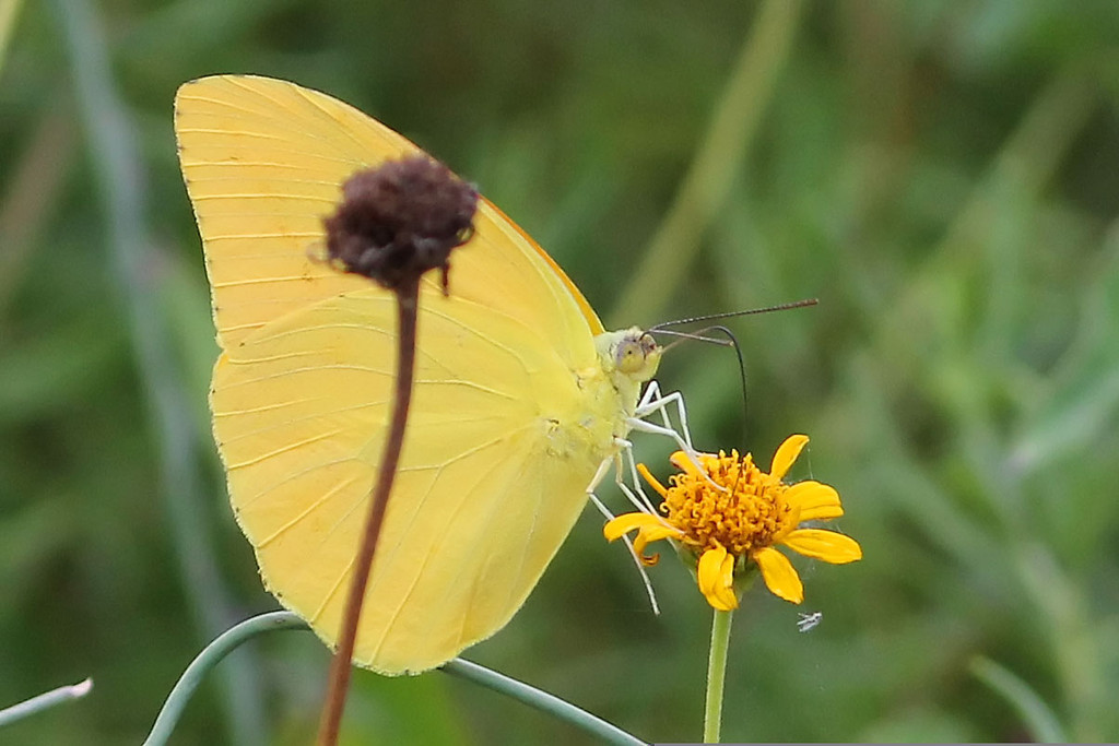 Large Orange Sulphur, Falcon State Park, Zapata County, TX