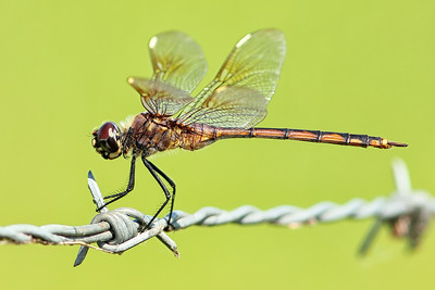 Four-spotted Pennant (female), Osceola County, FL (note white pterostigma)