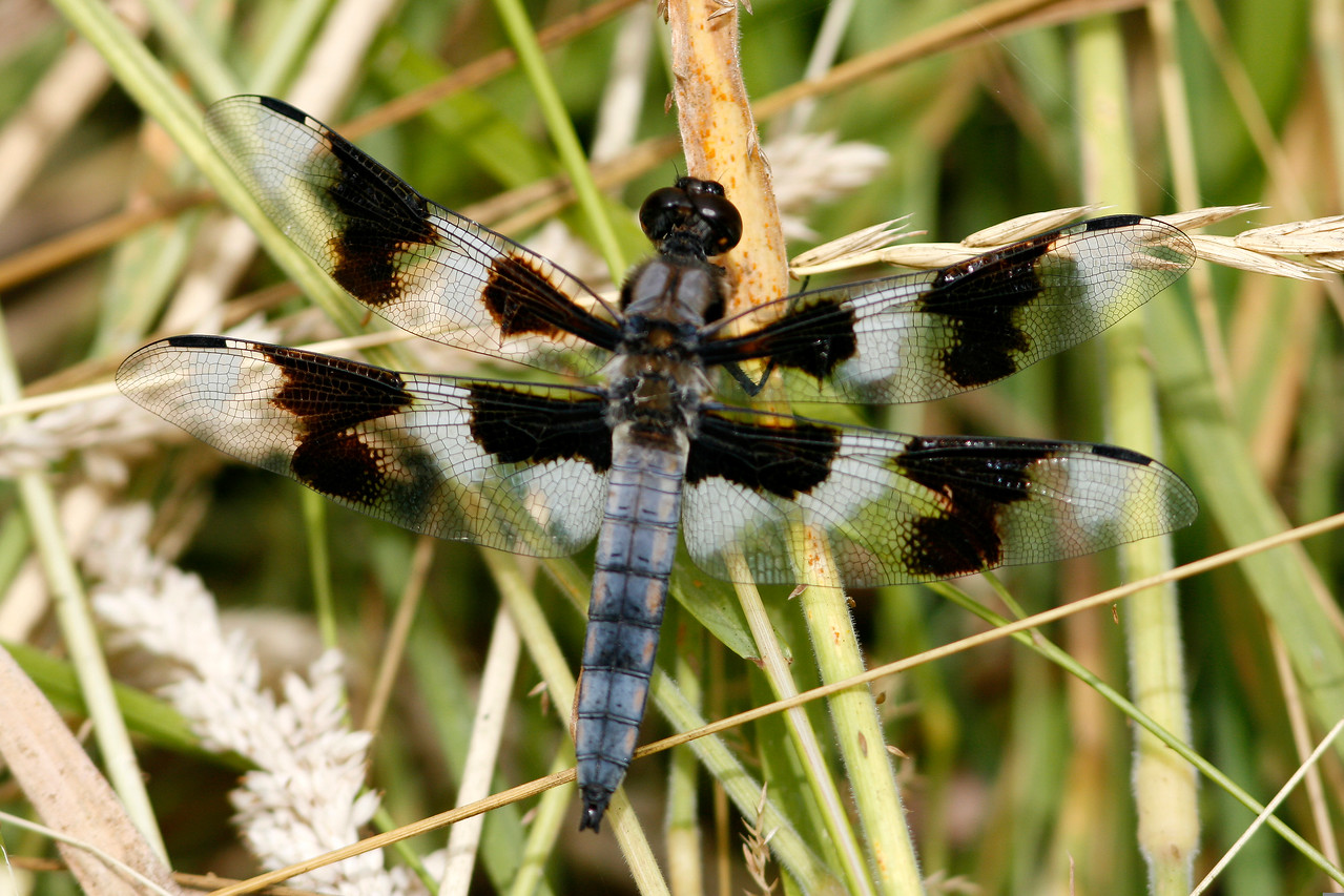 Eight-spotted Skimmer, Seattle, WA