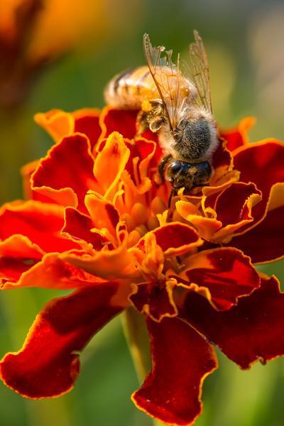 Honey bee on marigold