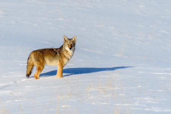 Coyote Beautiful