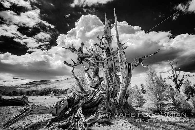 An ancient bristlecone pine in the Patriarch Grove, White Mountains, California