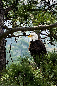 A Bald Eagle (Haliaeetus leucocephalus) sits in a tree among an urban environment in The Woodlands, a suburban community north of Houston, Texas. Despite the growth of residential and commercial development in the area, a nesting pair of Bald Eagles in the community continue to thrive, producing several generations of offspring amidst the urban setting.