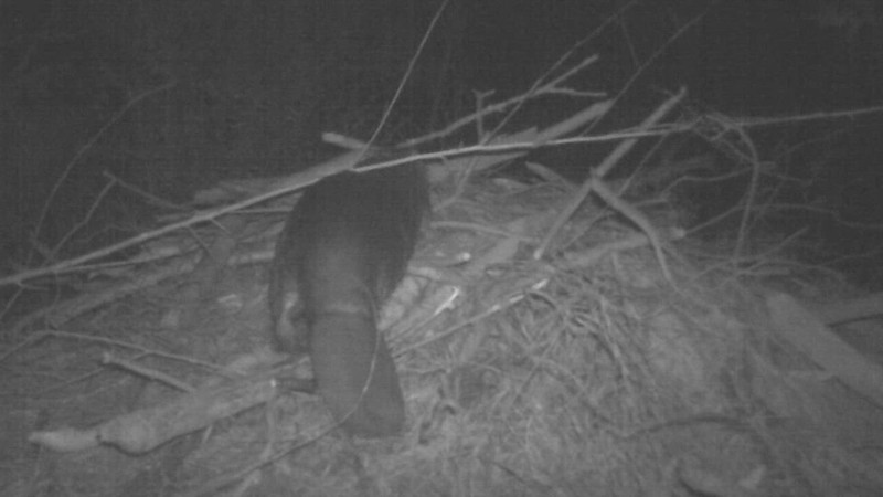 American Beaver (Castor canadensis) maintaining its lodge.