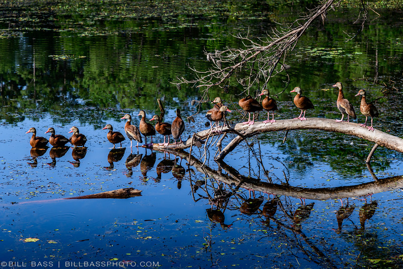 A flock of Black-bellied Whistling-Ducks (Dendrocygna autumnalis) at the Beaver Pond on the Spring Creek Nature Trail.