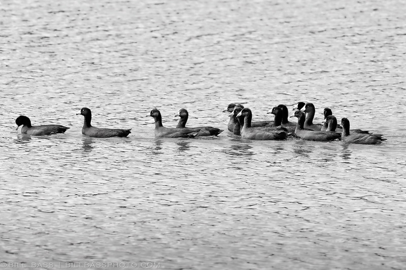 'Raft of Coots'