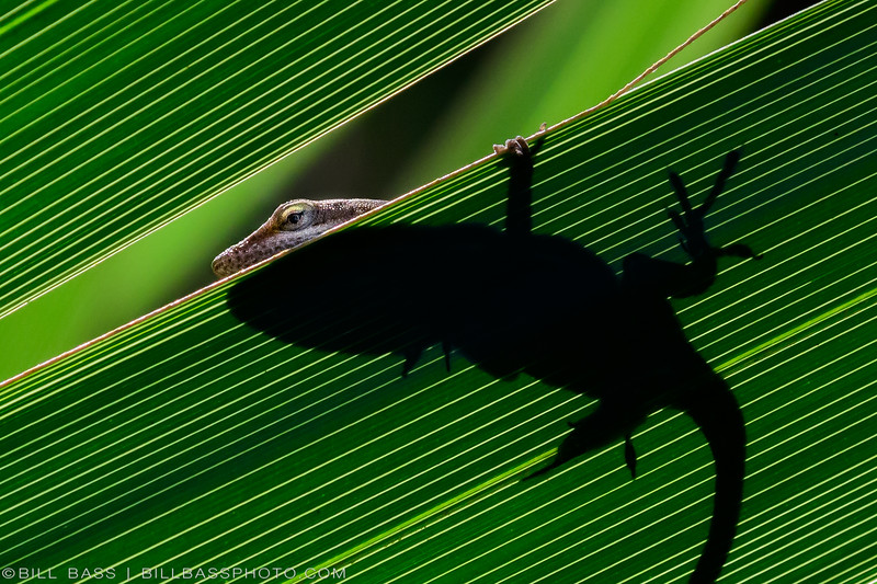 A native Green Anole (Anolis carolinensis) rests on a Palmetto frond in the sunlight. In recent years Green Anoles in the U.S. have come under threat from the invasive Brown Anole (Cuban or Bahamian anole) that originated in the Carribean. It is not uncommon for the Brown Anoles to eat the babies of Green Anoles. Thus the Green Anole has resorted to living higher in the tree canopy to adapt to this new threat.