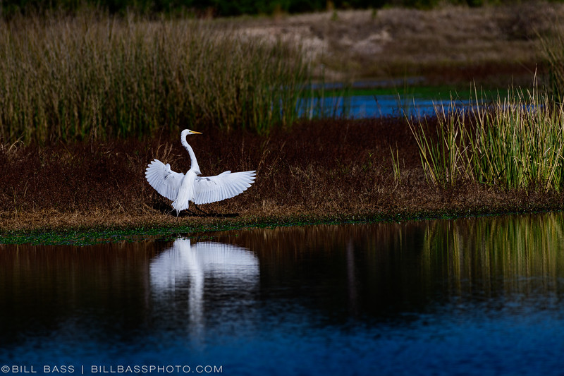 Great Egret (Ardea alba) landing in shallow water along the Spring Creek Nature Trail.