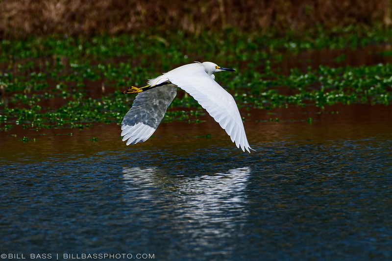 Snowy Egret (Egretta thula) in flight on the Spring Creek Nature Trail.