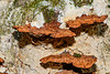 Fungi growing on side of tree. Fungi are an important part of eco-systems, recycling nutrients and also helping to transfer nutrients between trees via their extensive mycelium networks.