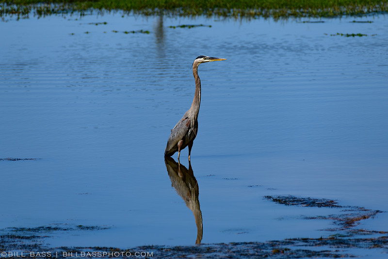 A Great Blue Heron (Ardea herodias) fishes in a shallow pong along the Spring Creek Nature Trail in The Woodlands, Texas.