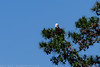 A Bald Eagle (Haliaeetus leucocephalus) rests atop a pine tree along the Spring Creek Nature Trail. Over the past several years, Bald Eagles have made an amazing comeback to the Houston region.