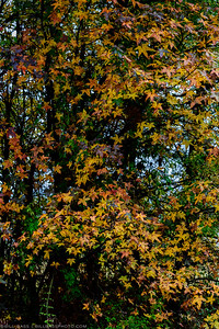 Fall colors of a Maple Tree on the Spring Creek Nature Trail in The Woodlands, Texas.