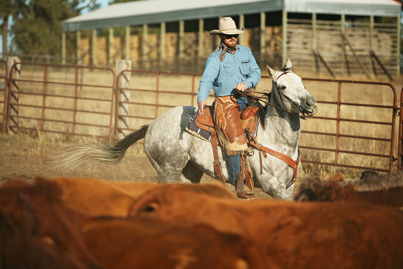 Cody Dix Harris helps corral cattle at Main Place at Lazy H Ranch, in Cheney, Wash., on Tuesday, November 8, 2011. (Young Kwak Special to the Pacific Northwest Inlander)