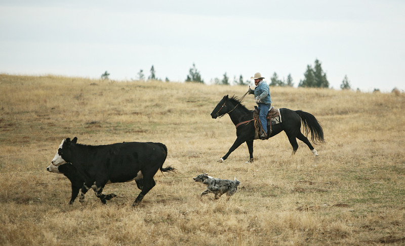 Nate Gutzwiller moves cattle at Main Place at Lazy H Ranches, in Cheney, Wash., on Monday, November 7, 2011. (Young Kwak Special to the Pacific Northwest Inlander)