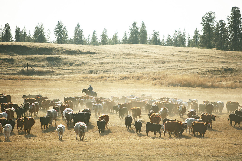 Nate Gutzweiller helps corral cattle at Main Place at Lazy H Ranch, in Cheney, Wash., on Tuesday, November 8, 2011. (Young Kwak Special to the Pacific Northwest Inlander)