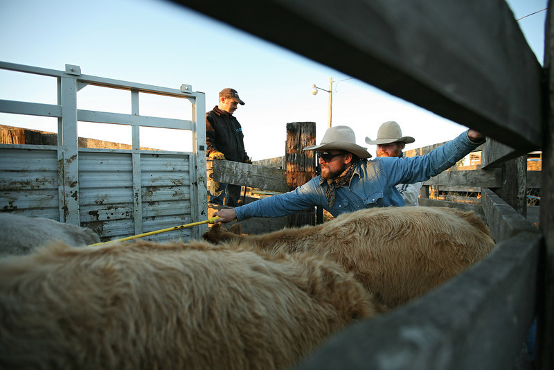 (Left to right) Ryan Roberts, Cody Dix Harris with a hotshot, and Nate Gutzwiller move calves into a trailer at Williams Place at Lazy H Ranch, in Cheney, Wash., on Tuesday, November 8, 2011. (Young Kwak Special to the Pacific Northwest Inlander)