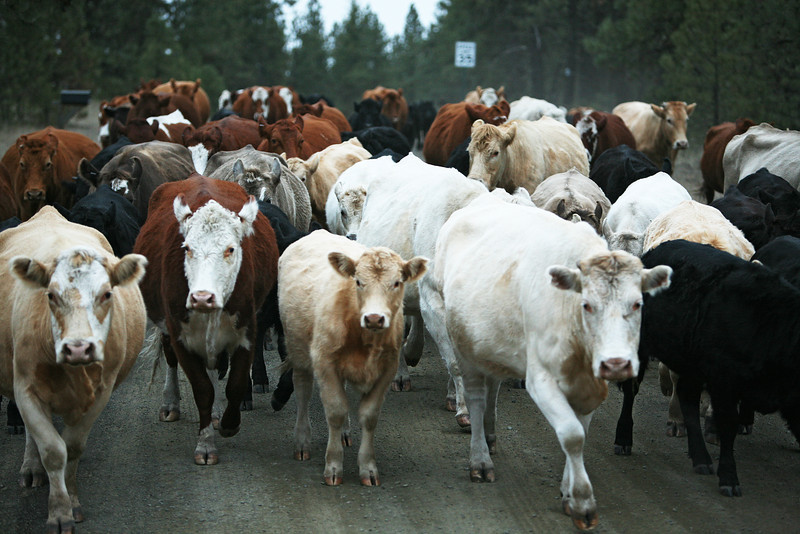 Cattle are moved from Stark Place at Lazy H Ranches, in Cheney, Wash., on Monday, November 7, 2011. (Young Kwak Special to the Pacific Northwest Inlander)