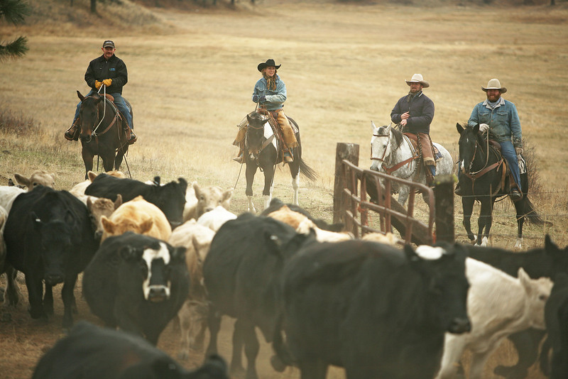 (Left to right) Ryan Roberts, Catlin Dix Harris, Cody Dix Harris and Nate Gutzwiller move cattle at Williams Place at Lazy H Ranches, in Cheney, Wash., on Monday, November 7, 2011. (Young Kwak Special to the Pacific Northwest Inlander)