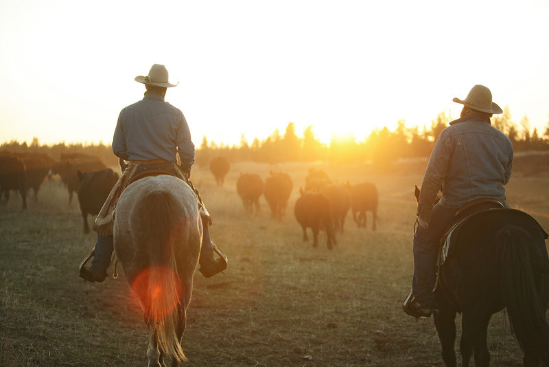 Cody Dix Harris, left, and Nate Gutzwiller move cows back to a pasture at Williams Place at Lazy H Ranch, in Cheney, Wash., on Tuesday, November 8, 2011. (Young Kwak Special to the Pacific Northwest Inlander)