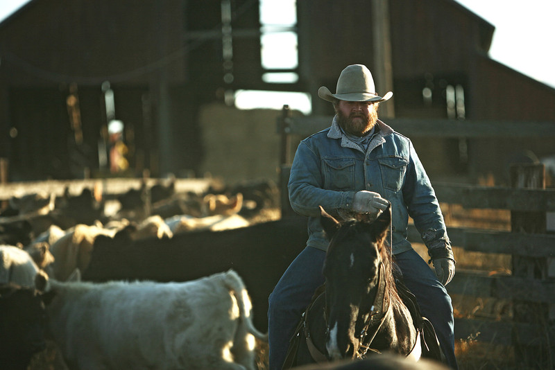 Nate Gutzwiller helps sort cattle at Williams Place at Lazy H Ranch, in Cheney, Wash., on Tuesday, November 8, 2011. (Young Kwak Special to the Pacific Northwest Inlander)