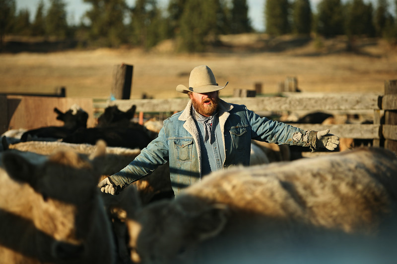 Nate Gutzwiller moves calves into a pen at Williams Place at Lazy H Ranch, in Cheney, Wash., on Tuesday, November 8, 2011. (Young Kwak Special to the Pacific Northwest Inlander)